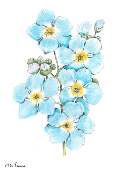 Forget-me-not by Malcolm Deane